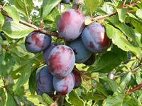 Очищение организма фруктами - сливы
